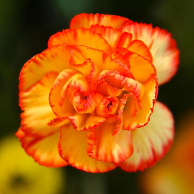 """""""Vibrant flower"""" stock image"""