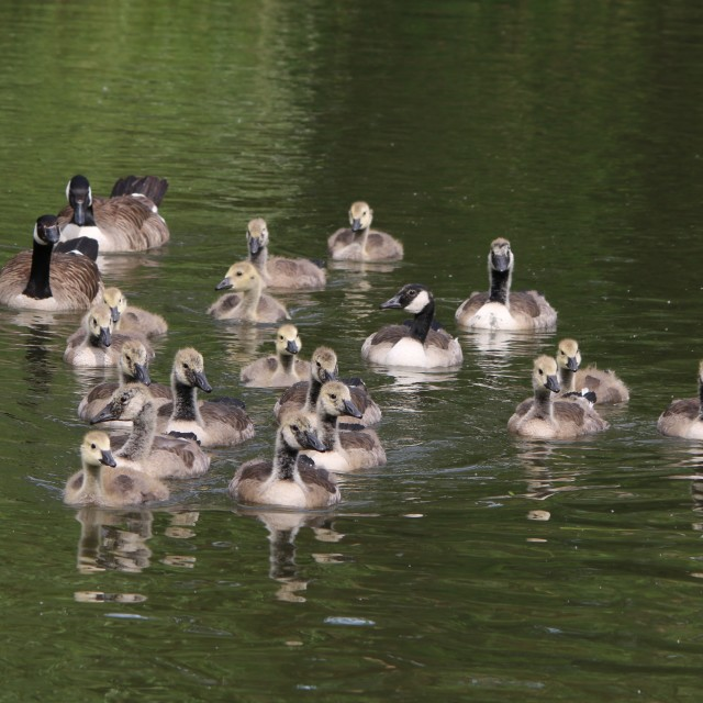 """Young geese"" stock image"
