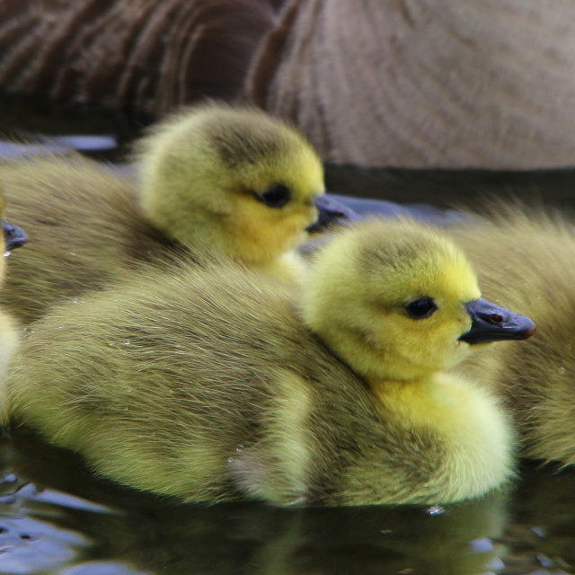 """Baby Greylag Geese"" stock image"