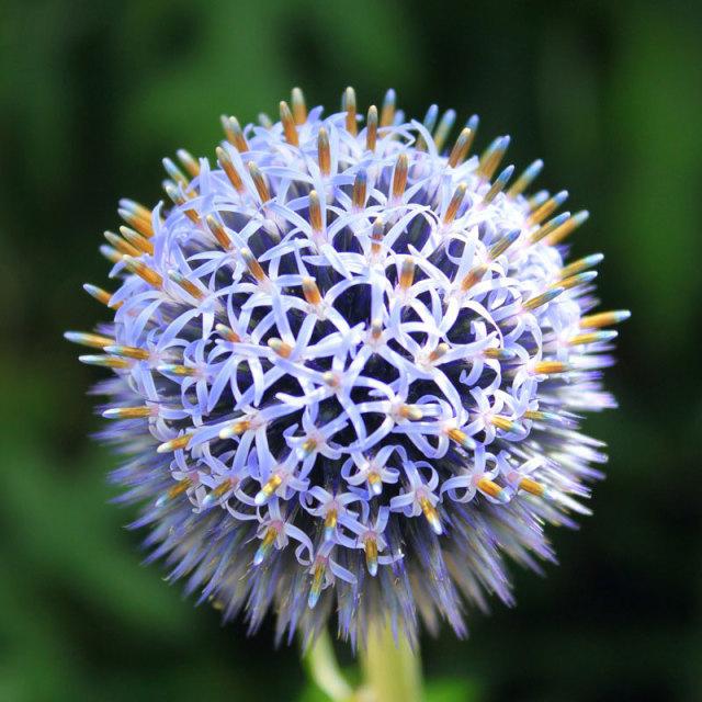 """Globe Thistle Flower"" stock image"