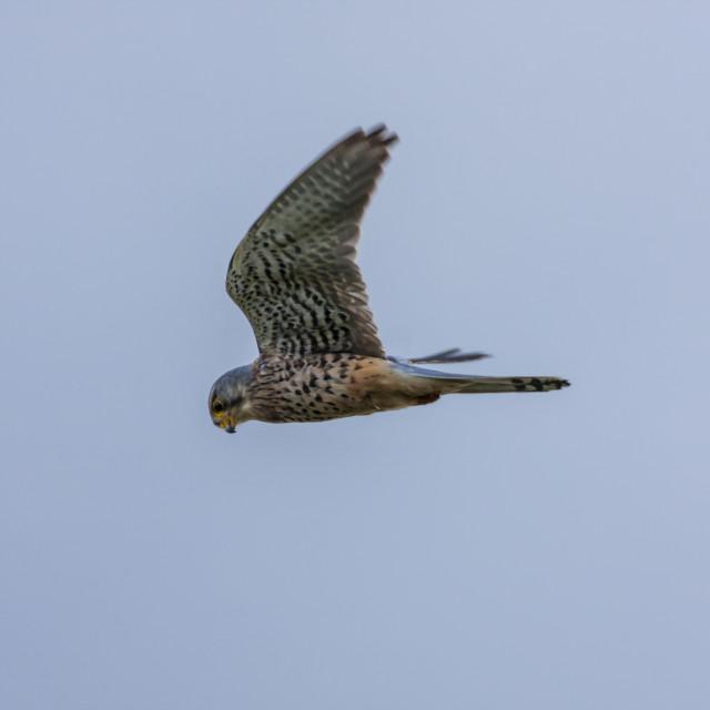 """""""Kestrel in flight"""" stock image"""
