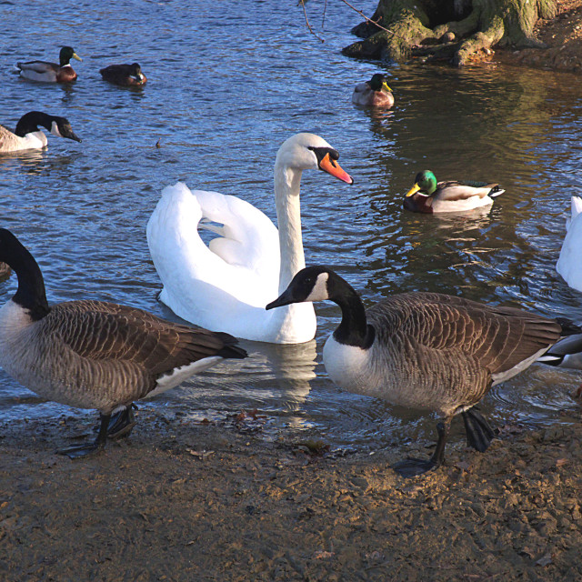 """Ducks, Geese and Swans"" stock image"