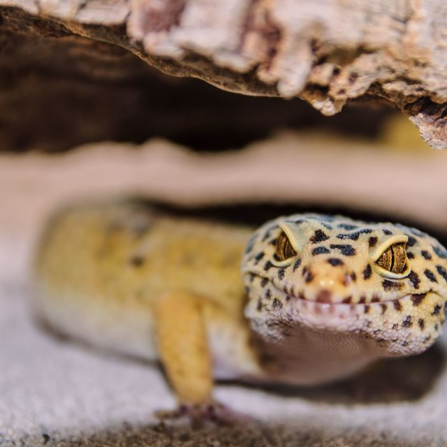 """Leopard Gecko"" stock image"