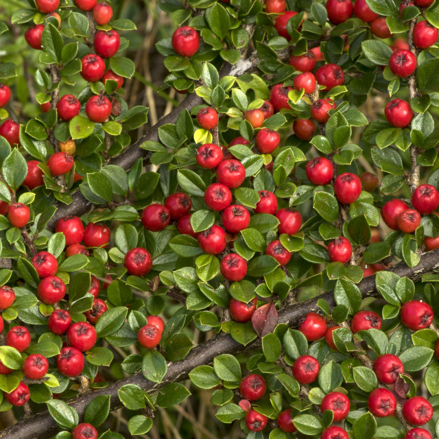 """Wall Cotoneaster"" stock image"