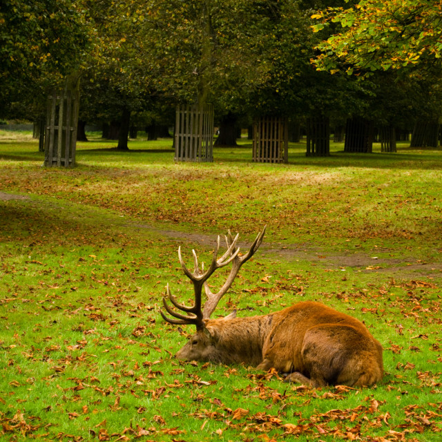 """Sleepy Stag"" stock image"