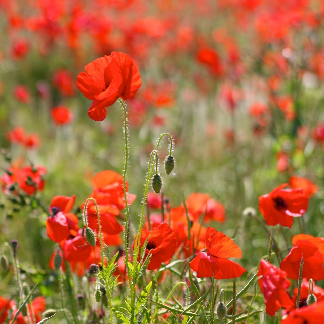 """Red Poppies in Wild Poppy Fields"" stock image"