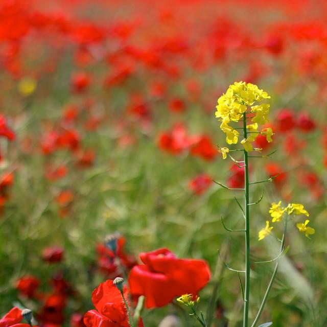 """Red Poppies in Wild Poppy Fields"" stock image"