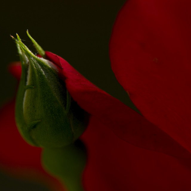 """""""Red rose bud and petal"""" stock image"""