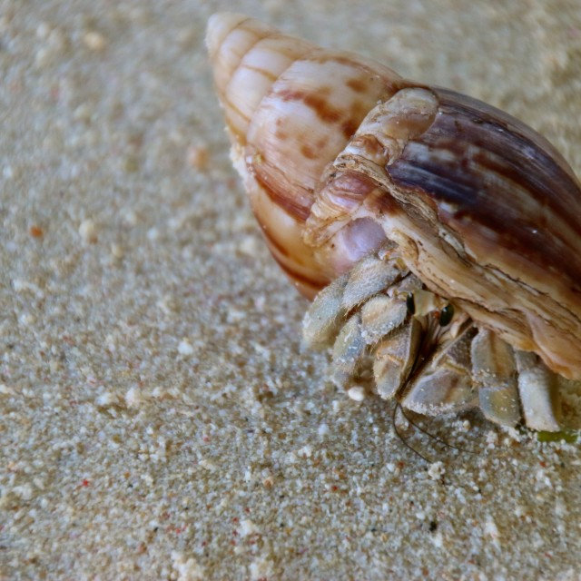 """""""Crab in shell..."""" stock image"""