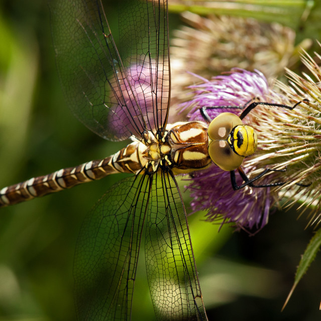 """Golden Ringed Dragonfly"" stock image"
