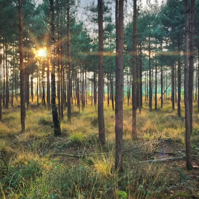 """""""Evening forest with setting sun"""" stock image"""