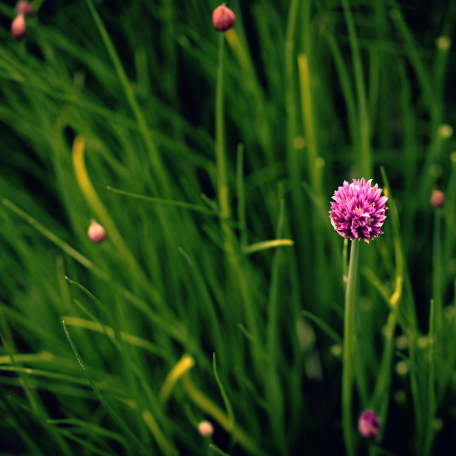 """Chives"" stock image"