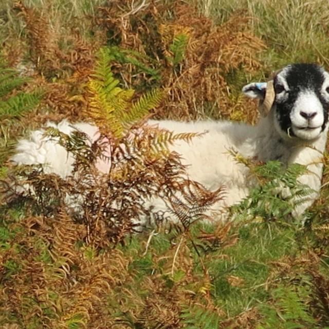 """Camouflage sheep"" stock image"