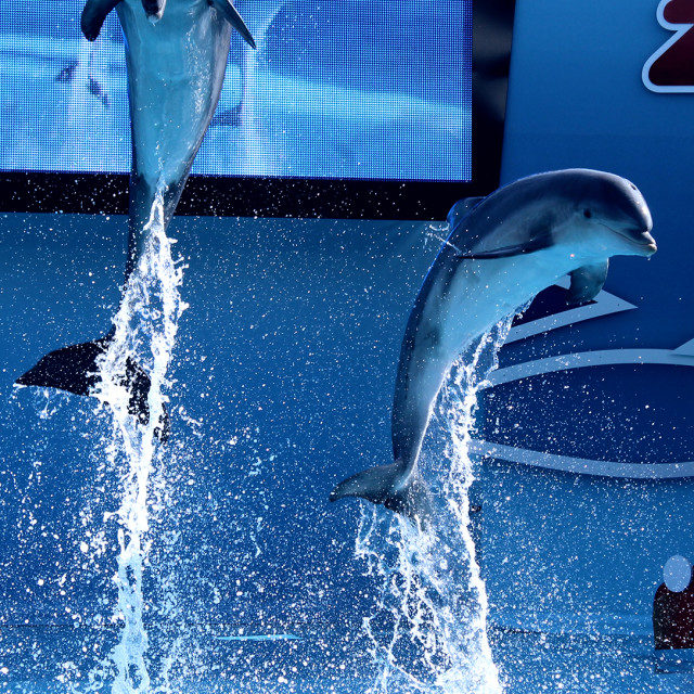 """""""Dolphins jumping"""" stock image"""