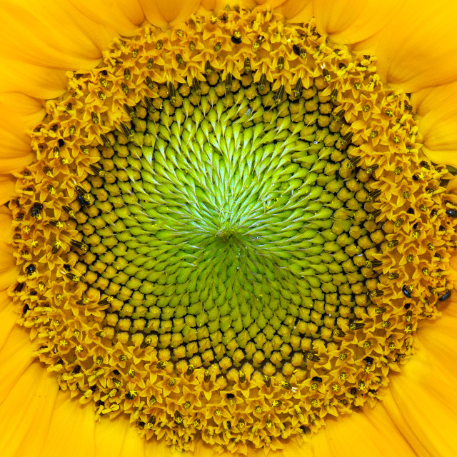 """Sunflower Centre"" stock image"