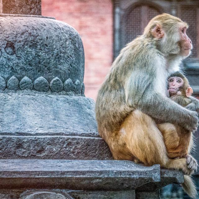 """Mom's the (monkey) word"" stock image"