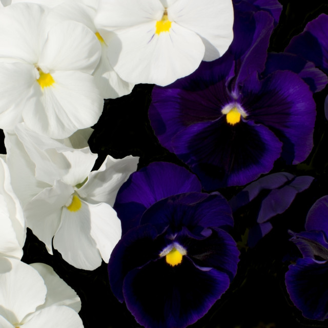"""""""Pansy flowers"""" stock image"""