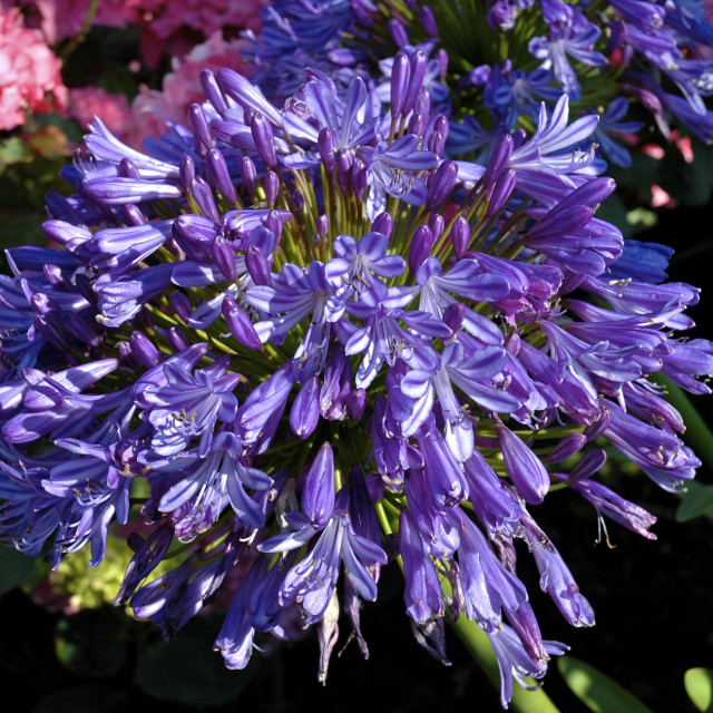 """Agapanthus (African Lily)"" stock image"