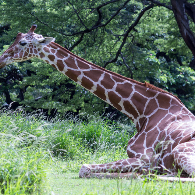 """giraffe seated languidly"" stock image"