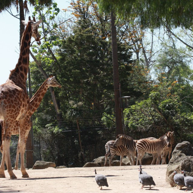 """Giraffes and Zebras"" stock image"
