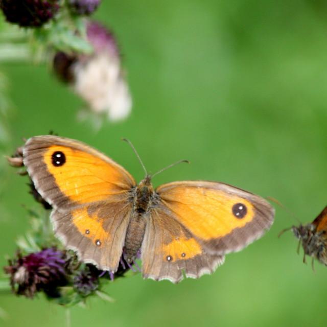 """Gatekeeper Butterflies"" stock image"