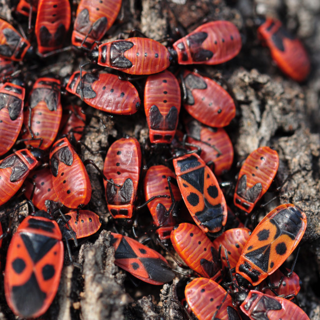"""""""firebug insects"""" stock image"""