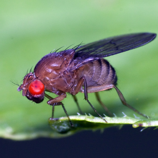 """Red Eyed Fly"" stock image"