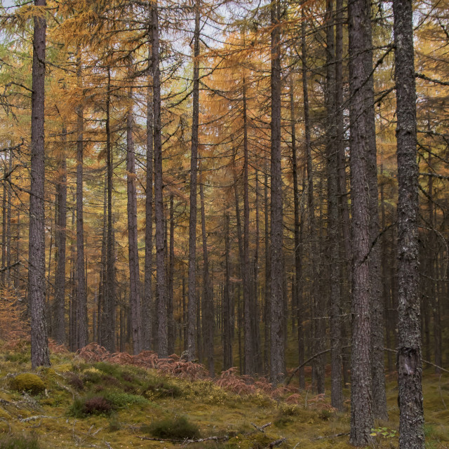 """Autumnal Forest"" stock image"