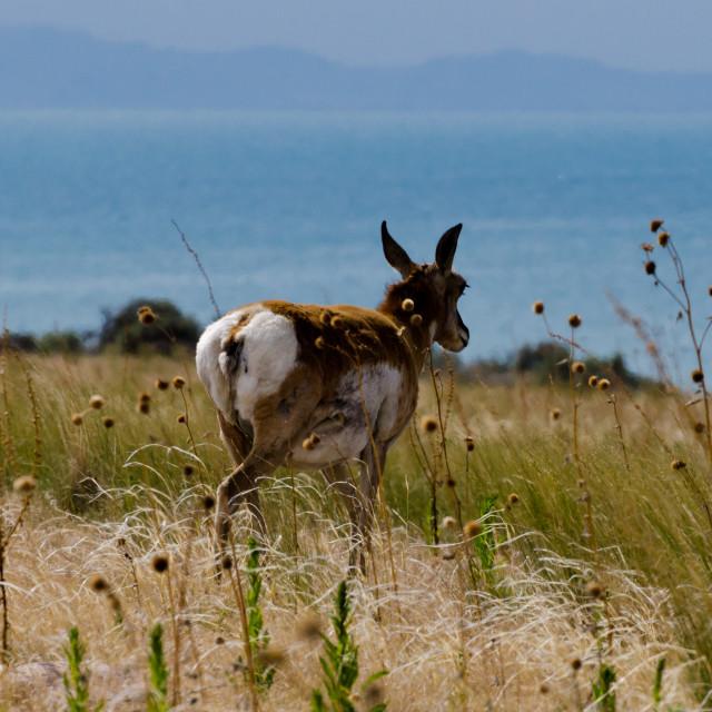 """""""Pensive antelope"""" stock image"""