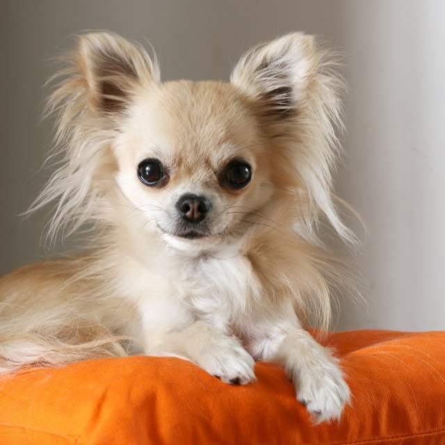 """Beautiful chihuahua dog"" stock image"