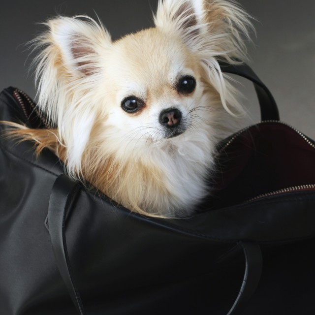 """Fashion chihuahua"" stock image"