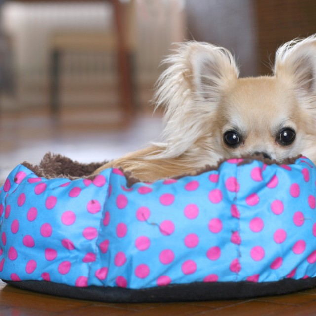 """""""Chihuahua puppy resting"""" stock image"""