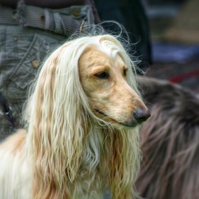 """Afghan hound"" stock image"