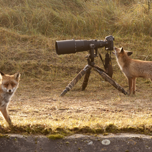 """Fox with Nikon Camera"" stock image"