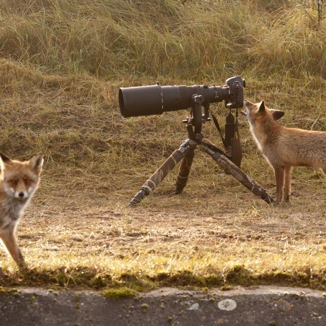 """""""Fox with Nikon Camera"""" stock image"""