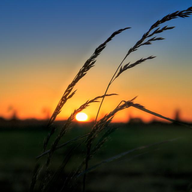 """Sunset Grass"" stock image"