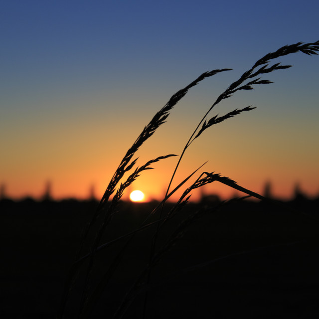 """Sunset Grass Silhouette"" stock image"