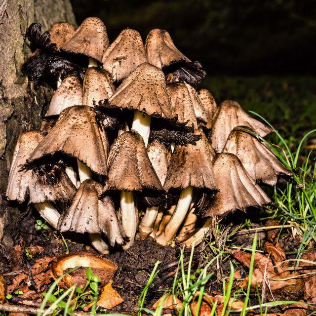 """Shrooms"" stock image"