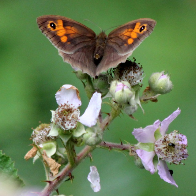 """Meadow Brown"" stock image"