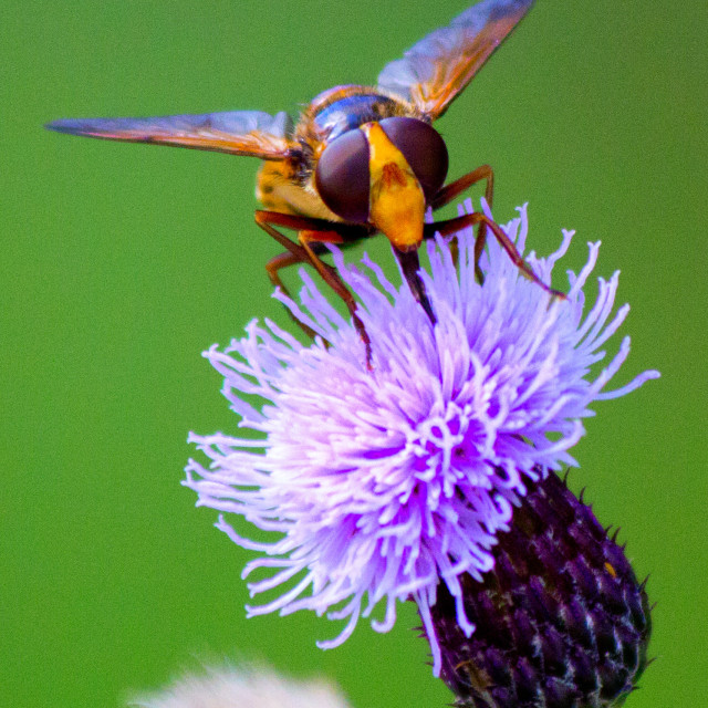 """Hover Fly on Thistle"" stock image"