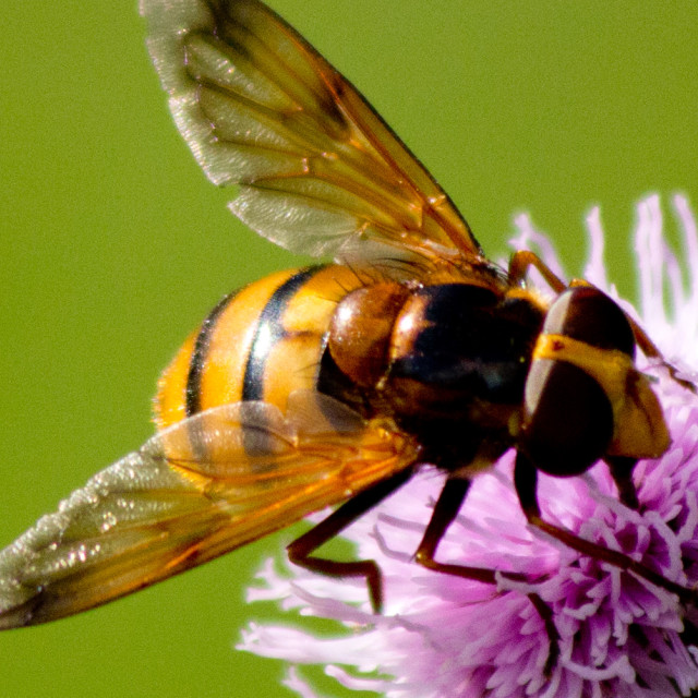 """Hover Fly Feeding"" stock image"