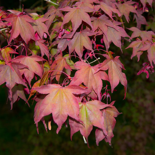 """Maple in Autumn"" stock image"