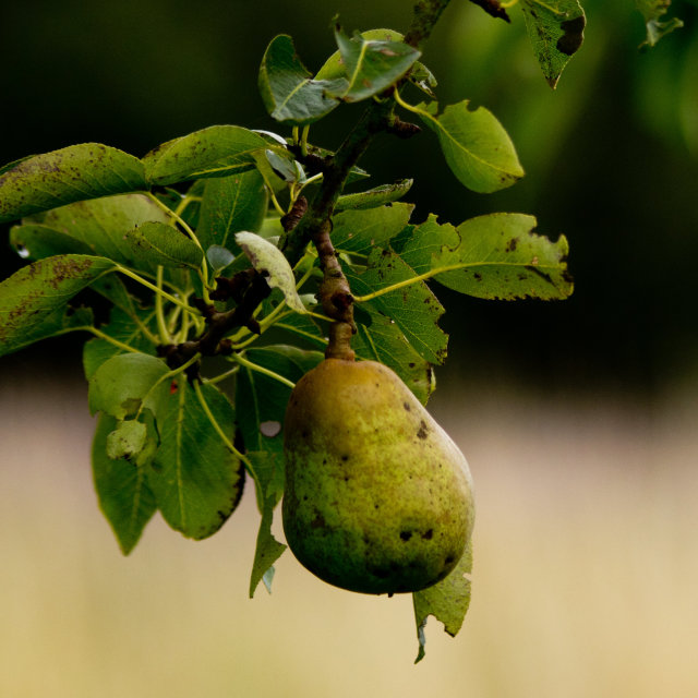 """""""Pear ready for the picking"""" stock image"""