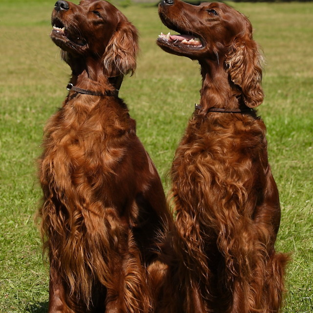 """Red setters"" stock image"