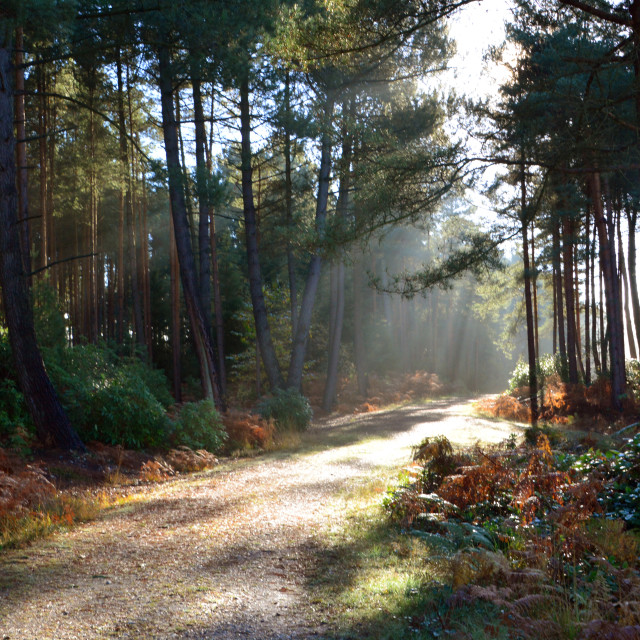 """""""Sunrays through the Forest"""" stock image"""