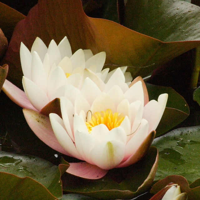 """""""Water lilly"""" stock image"""