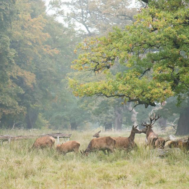 """""""Red deer herd in autumn"""" stock image"""