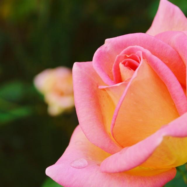 """""""Pink Rose."""" stock image"""
