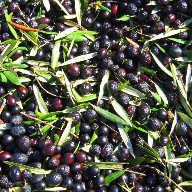 """Olive Harvest"" stock image"