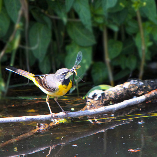 """Wagtail with lunch"" stock image"